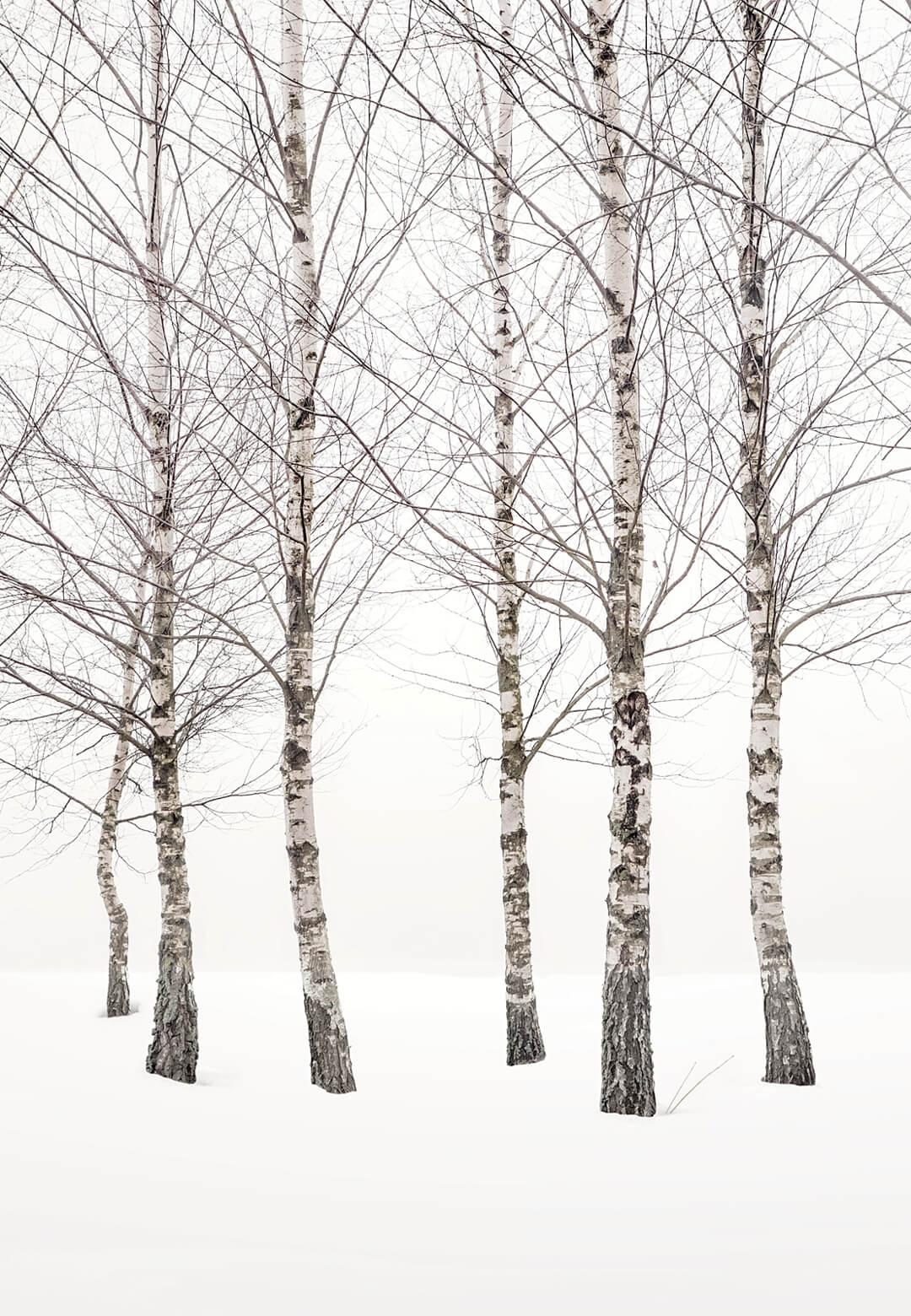 Birches | Uwe Langmann| STIRworld