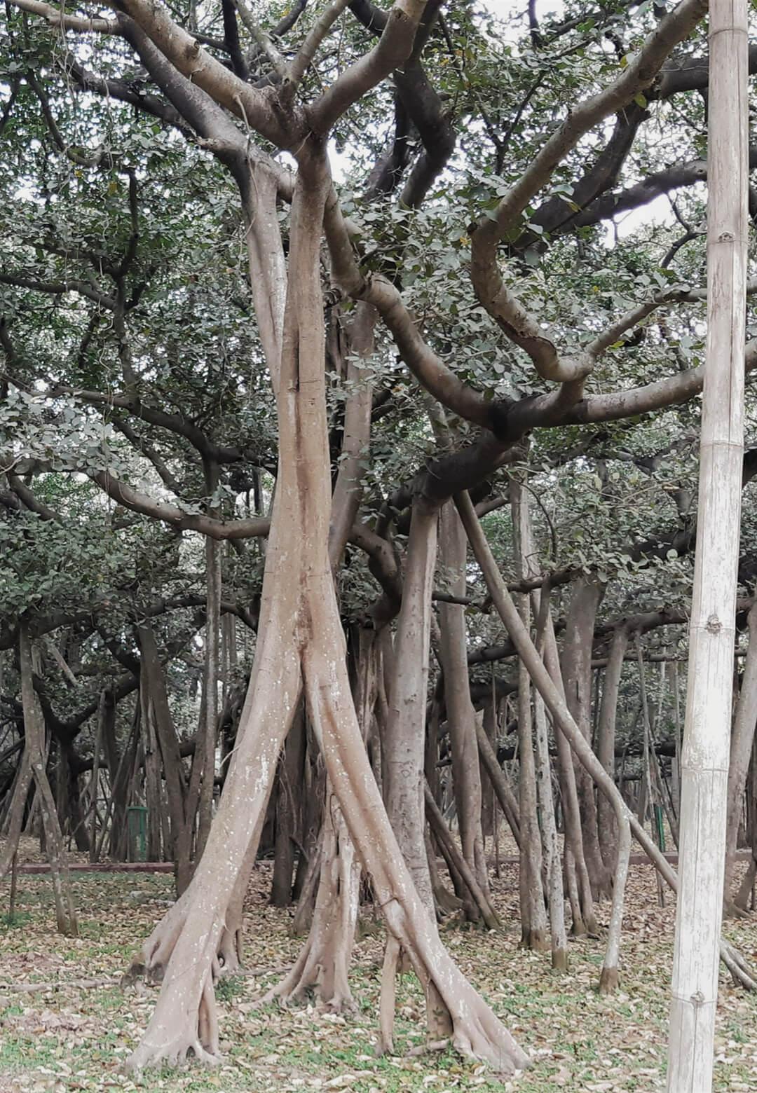 The Great Banyan tree, believed to be at least 1250 years old, is located in Acharya Jagadish Chandra Bose Indian Botanic Garden, Shibpur, Howrah, near Kolkata, India   STIRworld