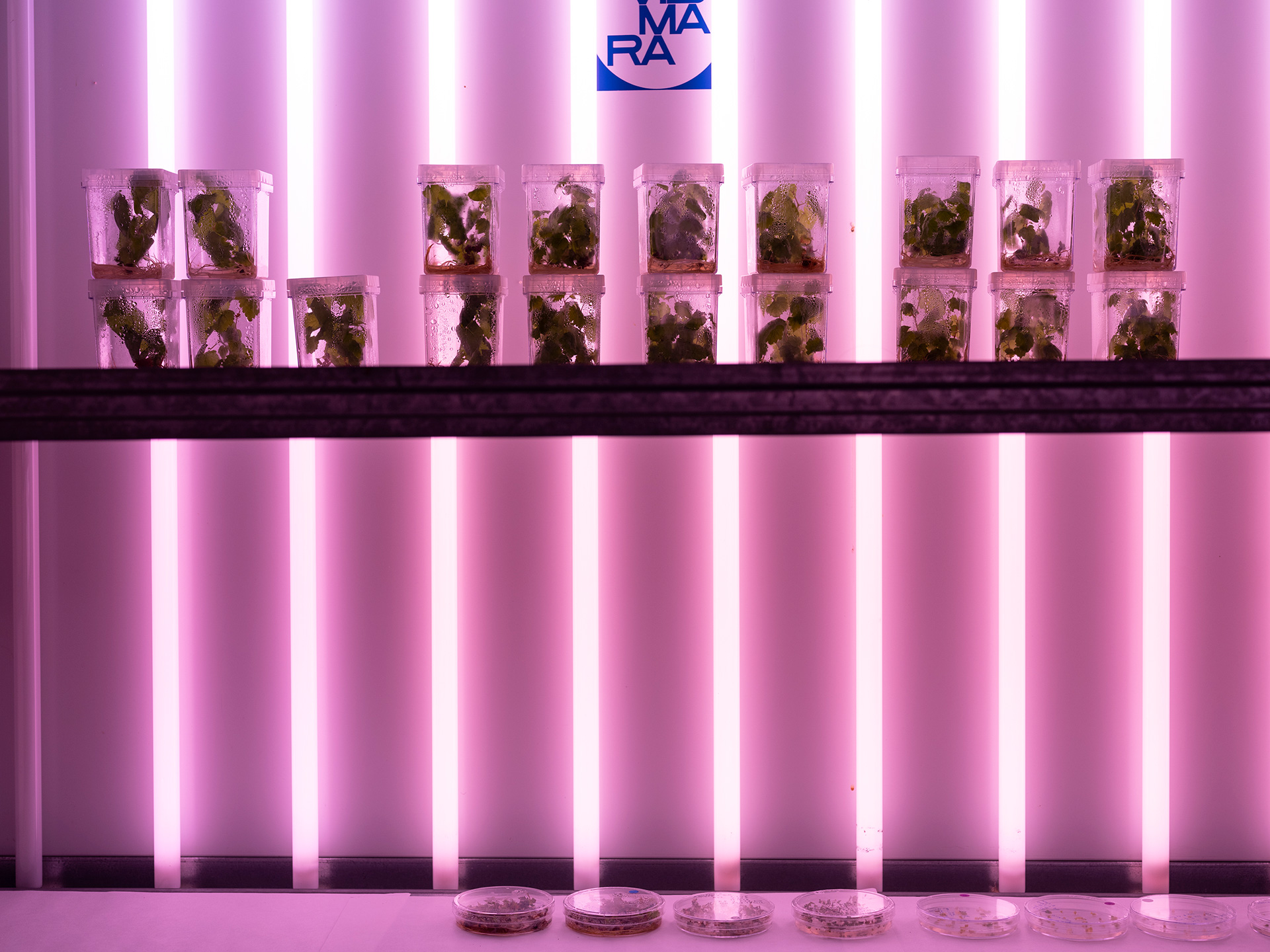 Centro Ricerche Metapontum Agrobios – ALSIA, plants and plant tissues grown in sterility under controlled conditions of light and temperature, Metaponto, Italy, 2019| Blind Sensorium. Il Paradosso dell'Antropocene | Armin Linke | STIRworld